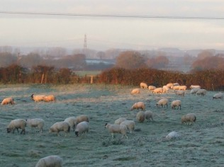Sheep in a frosty field early morning on December 4